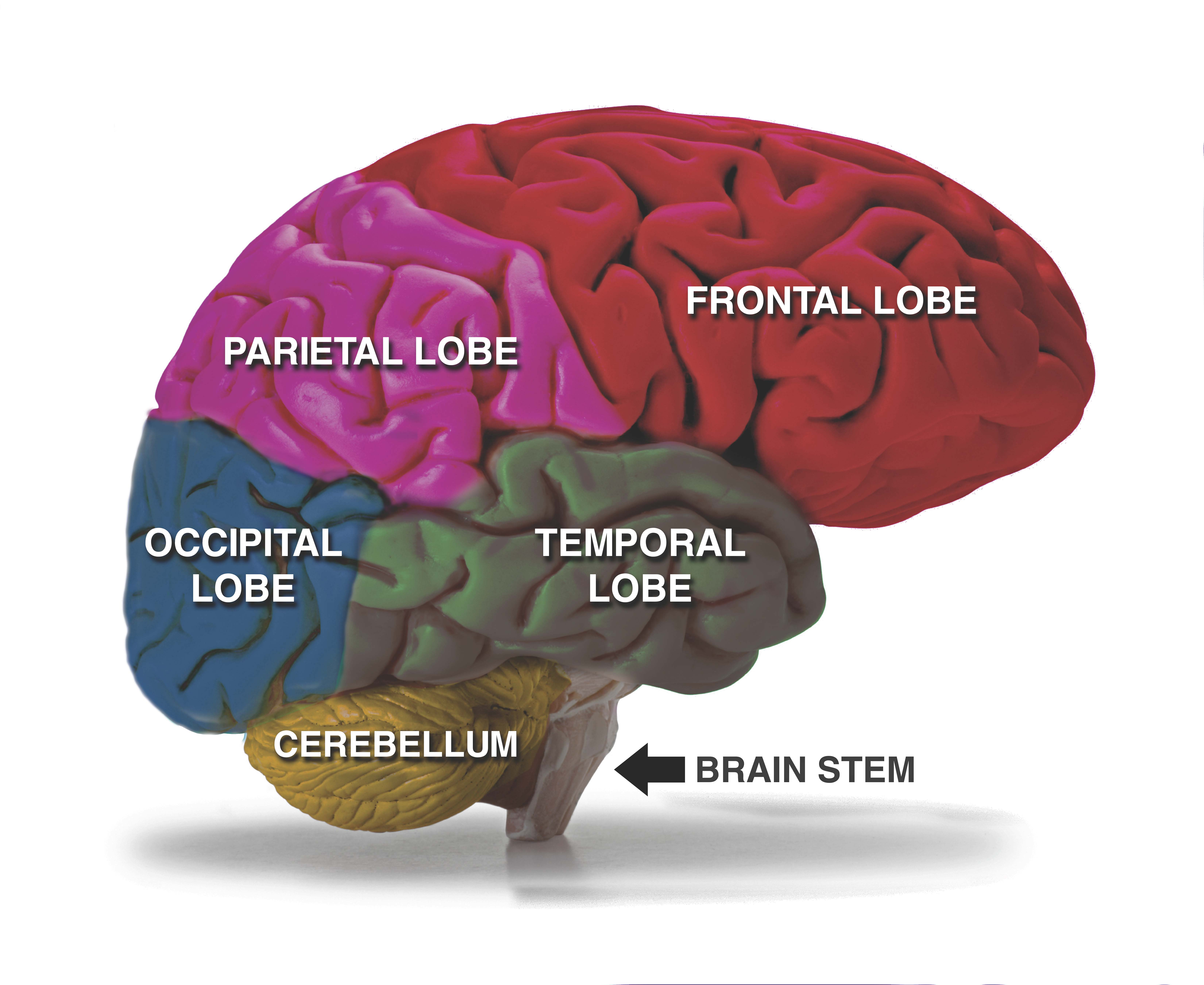 Extra Large Brain Poster - 30\